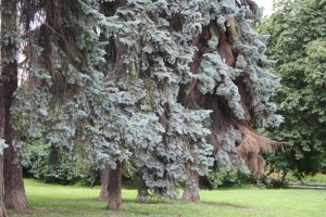 Picture of Old trees in a park